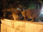 Jerusalem pair. Blurry because they were not cooperative