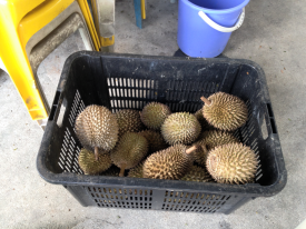 Durians awaiting the chop