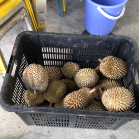Durians awaiting the chop