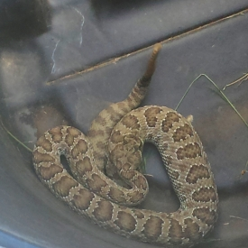 Rattlesnake, Pictograph Cave State Park