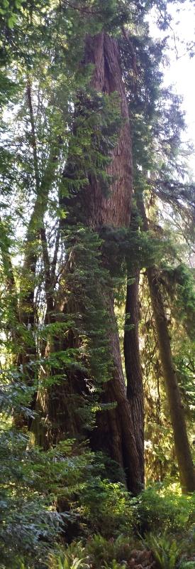 Corkscrew tree, Redwood National Park
