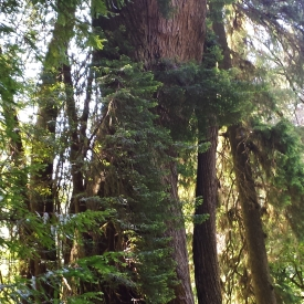 Corkscrew tree, Redwood National Park