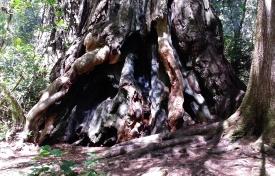 Gnarled redwood base, Redwood National Park