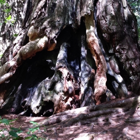 Gnarled redwood base, Redwood National Park